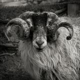 Ram on Moor Royalty Free Stock Images