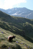Ram on the mountain in the grass witn purple flowers. Mountain scene with a ram looking towards the landscape in the Pyrenees Stock Images
