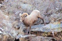 Ram movente rápido foto de stock