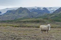 Ram nel paesaggio islandese immagini stock libere da diritti