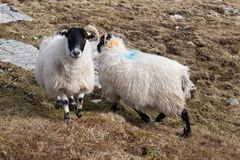 Ram nelle montagne sull'isola di Lewis e di Harris La Scozia di nord-ovest Fotografia Stock
