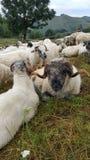 Ram no meio do rebanho Homem dos carneiros foto de stock royalty free