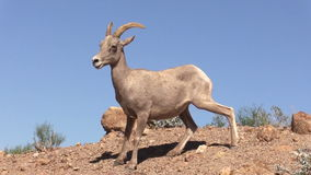 Ram novo do Bighorn do deserto Foto de Stock Royalty Free