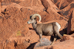 Ram novo do Bighorn do deserto Imagem de Stock