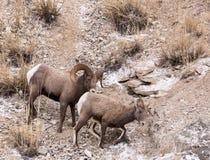 RAM och tacka för Bighornfår Arkivbild