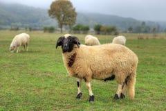 Ram op gras op het gebied royalty-vrije stock afbeeldingen