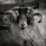 Ram op Moor Royalty-vrije Stock Afbeeldingen