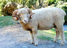 Ram (Ovis aries). A Male Sheep in New Zealand stock photos