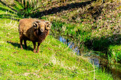 Ram on pasture Royalty Free Stock Photography