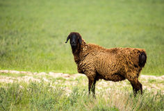 Ram in the pasture in the spring Royalty Free Stock Photos