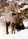 Ram & pecora Fotografia Stock