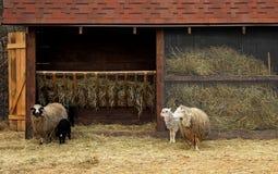 Ram, pecore ed agnelli vicino alla mangiatoia all'azienda agricola Fotografia Stock