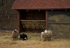 Ram, pecore ed agnelli vicino alla mangiatoia all'azienda agricola Immagine Stock Libera da Diritti