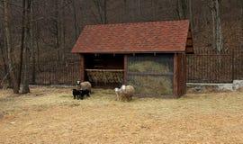 Ram, pecore ed agnelli vicino alla mangiatoia all'azienda agricola Fotografia Stock Libera da Diritti