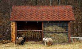 Ram, pecore ed agnelli vicino alla mangiatoia all'azienda agricola Immagini Stock Libere da Diritti