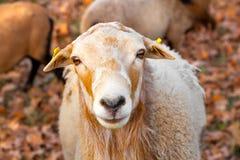 Ram piacevole Fotografie Stock Libere da Diritti