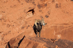 Ram piacevole delle pecore Bighorn del deserto Fotografia Stock
