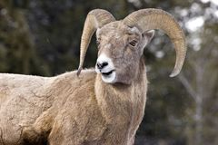 Ram portrait. Ram on mountain side from low angle viewpoint Royalty Free Stock Photos