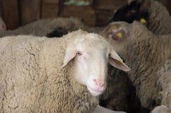 Ram portrait Stock Image