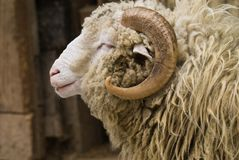 Ram portrait Royalty Free Stock Images