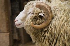 RAM-Portrait Lizenzfreie Stockbilder