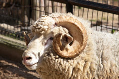Ram portrait. A portrait of a ram with curly horns Stock Images