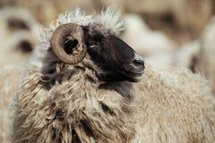 Ram Portrait Closeup Lizenzfreie Stockbilder
