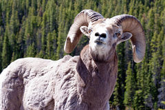 Ram Posed Royalty Free Stock Images