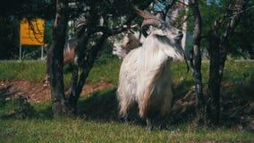 RAM principale de mâle alpha de grands moutons de klaxon dans le troupeau de moutons frôlant dans le domaine Mouvement lent banque de vidéos