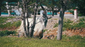 RAM principale de mâle alpha de grands moutons de klaxon dans le troupeau de moutons frôlant dans le domaine Mouvement lent clips vidéos