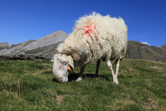 Ram in Pyrenees. Image of a domestic ram grazing at high altitude in Pyrenees mountains Stock Photography