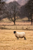 Sheep in field. A ram, standing in an open field, with rain falling down Stock Photos