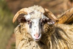 Ram or rammer, male of sheep. Portrait of ram or rammer, male of sheep in rural farm, easter symbol Royalty Free Stock Image