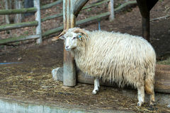 Ram or rammer, male of sheep. In rural farm Royalty Free Stock Images
