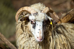 Ram or rammer, male of sheep. In rural farm Royalty Free Stock Photography