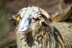 Ram or rammer, male of sheep. In rural farm Royalty Free Stock Photos