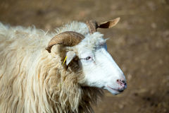 Ram or rammer, male of sheep. In rural farm Royalty Free Stock Image