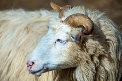 Ram or rammer, male of sheep. In rural farm Stock Photo