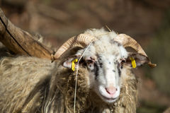 Ram or rammer, male of sheep Stock Images