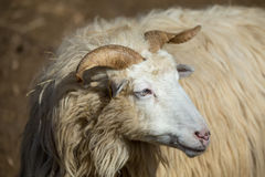 Ram or rammer, male of sheep. In rural farm Royalty Free Stock Photo