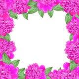 Ram Realistiska blommor för rosa pion Fotografering för Bildbyråer