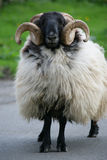 Ram refuse to move. Found in Cornwall, Britain, standing in the middle of the road. Watching stubborn in my camera Stock Photos