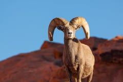 Ram regale delle pecore Bighorn del deserto Immagine Stock Libera da Diritti