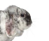 Ram Rhön Rabbit isolated on white Stock Images