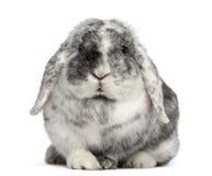 Ram Rhön Rabbit isolated on white Royalty Free Stock Photos
