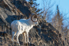 Ram on the rock. Full curl Dall Ram looking over a cliff in the Chugach State Park Stock Photos