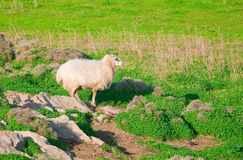 Ram on a rock in the green meadow Royalty Free Stock Photo