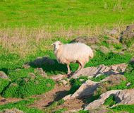 Ram on a rock in the middle of meadows Royalty Free Stock Images