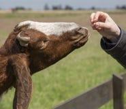 Ram ` s Kopf, eine Farm der Tiere Stockfoto