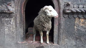 Ram in sacred buddhist temple, Katmandu, Nepal stock video